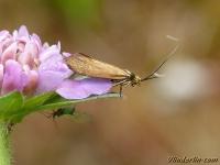 Nemophora metallica Adèle de la Scabieuse Gouden langsprietmot