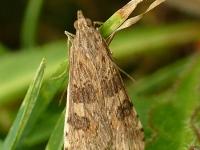 Nomophila noctuella Pyrale de la luzerne Luipaardlichtmot