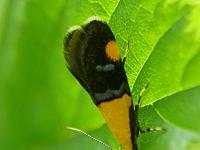 Oecophora bractella Oecophora bractella Molmboorder