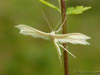 Pterophorus pentadactyla Ptérophore blanc Sneeuwwitte vedermot