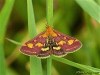 Pyrausta purpuralis Pyrale pourprée Purpermotje