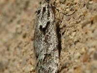 Scoparia ambigualis Eudorée commune Grijze granietmot