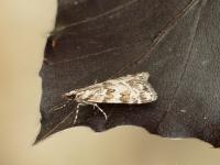 Scoparia pyralella Eudorée des vergers Oranje granietmot