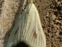 Sitochroa palealis Botys verdâtre Bruidsmot