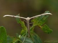 Stenoptilia bipunctidactyla Stenoptilia bipunctidactyla Tweevlekvedermot
