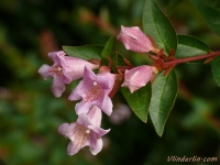 Abelia x grandiflora Abélia à grandes fleurs Abelia