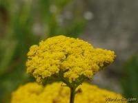 Achillea filipendulina Achillée jaune Duizendblad