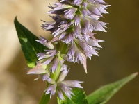 Agastache foeniculum Agastache fenouil Dropplant