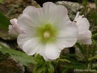 Alcea rosea Rose trémière Stokroos