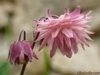 Aquilegia vulgaris x hybrida Ancolie de jardins Akelei dubbelbloemige