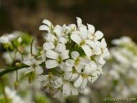 Arabis procurrens variegata Arabette panachée Randjesbloem