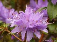 Azalea japonica Azalée japonaise Azalea