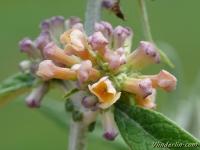 Buddleja × weyeriana Moonlight Arbre aux papillon Vlinderstruik