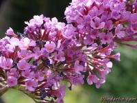 Buddleja davidii Arbre aux papillon Vlinderstruik