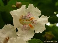 Catalpa bignonioides Catalpa commun Groene trompetboom