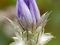 Catananche caerulea Cupidone bleue Blauwe Strobloem