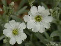 Cerastium tomentosum Céraiste cotonneux Viltige hoornbloem