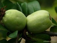 Chaenomeles japonica Cognassier du japon Japanse sierkwee
