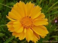 Coreopsis grandiflora Oeil de jeune fille Meisjesogen