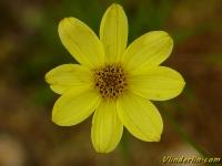 Coreopsis verticillata Oeil de jeune fille Meisjesogen
