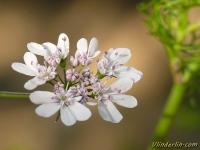 Coriandrum sativum Coriandre Koriander