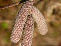 Corylus avellana red majestic Noisetier tortueux pourpre Rode kronkelhazelaar
