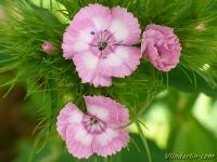 Dianthus barbatus Oeillet du poète Duizendschoon