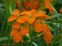 Erysimum x marshallii Giroflée orange Muurbloem