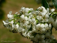 Escallonia Iveyi  Escalonia blanc parfumé Escallonia Iveyi