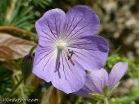 Geranium johnson's blue Géranium johnson's blue Ooievaarsbek