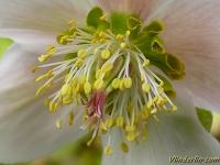 Helleborus niger Hellébore noir Kerstroos
