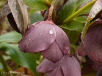 Helleborus orientalis Hellébore orientale Oosters nieskruid