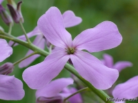 Hesperis matronalis purpurea Julienne des dames Damastbloem