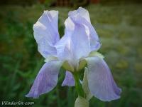 Iris germanica Iris d'Allemagne Baardiris