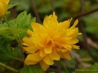 Kerria japonica Corète du Japon Ranonkelstruik