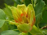 Liriodendron tulipifera Tulipier de virginie Amerikaanse tulpenboom