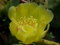 Opuntia ficus-indica Figuier de barbarie Vijgcactus
