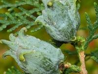 Platycladus orientalis Thuya de Chine Oosterse levensboom