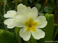 Primula vulgaris Primevère acaule Stengelloze sleutelbloem
