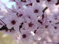 Prunus cerasifera nigra Prunier cerise Kerspruim