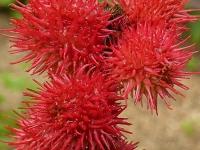 Ricinus communis Ricin commun Wonderboom