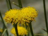 Santolina chamaecyparissus Santoline petit-cyprès Heiligenbloem