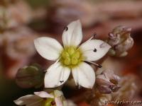 Sedum dasyphyllum Orpin à feuilles épaisses Dik vetkruid