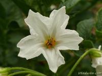 Solanum tuberosum Pomme de terre Aardappel