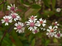 Symphyotrichum lateriflorum var. horiozontalis Aster à fleurs latérales Herfstaster