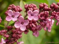 Syringa vulgaris Lilas commun Sering