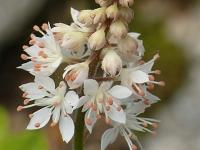 Tiarella cordifoliaTiarelle cordifoliée Schuimbloem