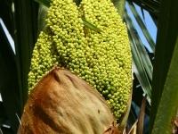 Trachycarpus fortunei Palmier à chanvre Henneppalm