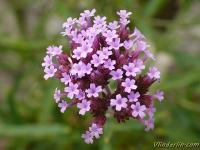 Verbena bonariensis Verveine de buenos-aires IJzerhard