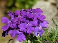Verbena ipanema blue Verveine des jardins IJzerhard